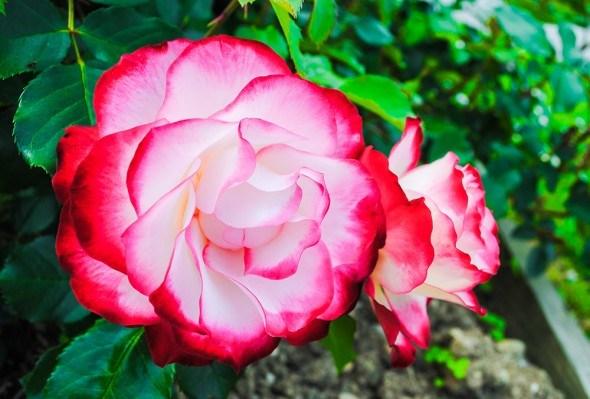 Роза цветок красно-белый