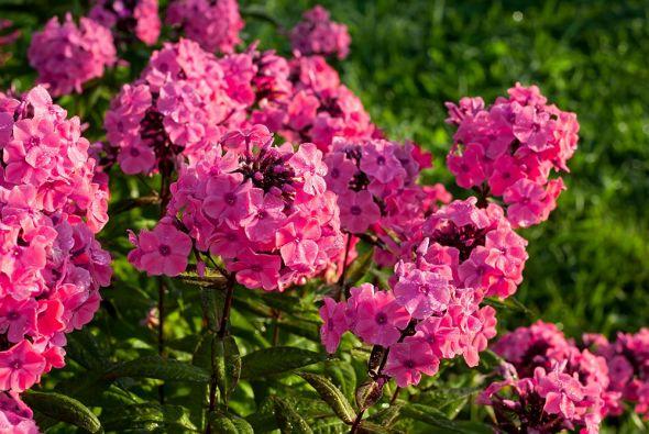 Душистые флоксы — очарование вашего цветника