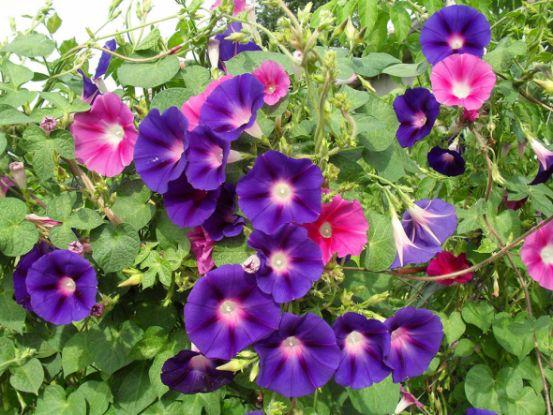 Ипомея — необычная лиана в вашем саду