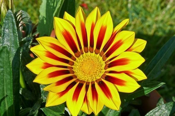 Гацания — цветок полуденного золота