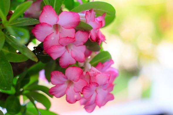Адениум — роза пустыни у вас дома