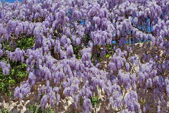 Глициния: как вырастить красивоцветущую лиану в собственном саду?