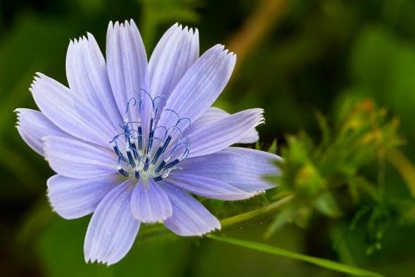 Голубоглазый наш целитель: выращиваем цикорий
