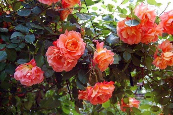 Ландшафтные розы: красивые и выносливые