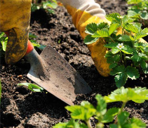 Рассаду земляники можно вырастить и самому