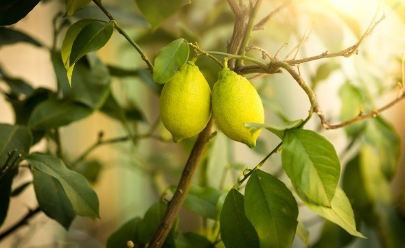 Лимон плоды
