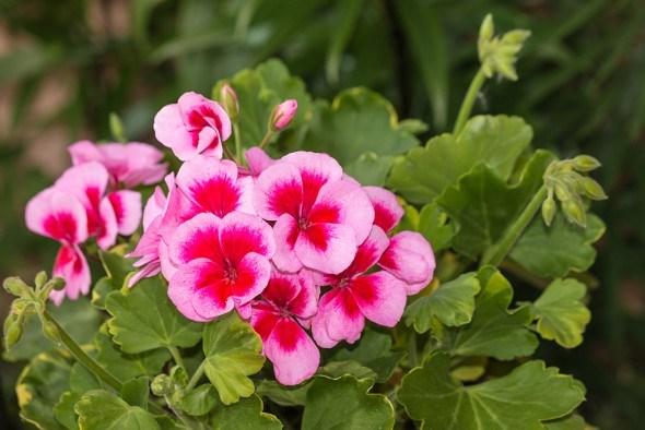 Пеларгония цветки