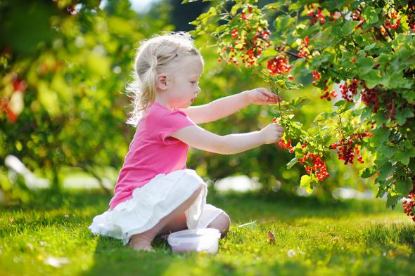 Как на небольшом участке посадить все любимые ягоды