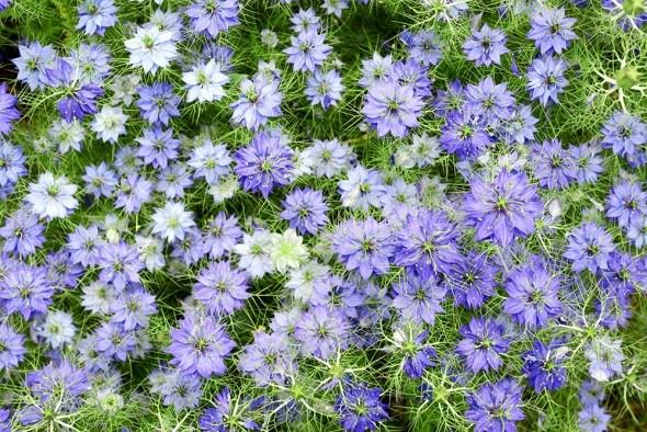 Нигелла дамасская цветы