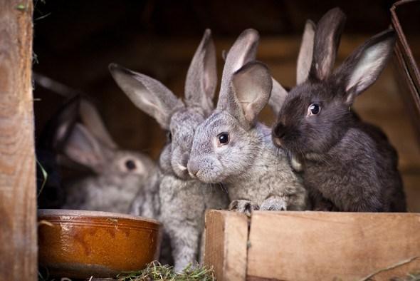 Кролики — плодовитые зверьки. Выращиваем крепкий молодняк