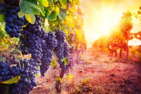 система полива виноградника