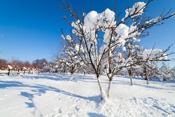 Фруктовый сад зимой
