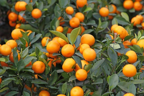 Мандарины дерево плоды