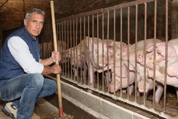 Свиньи хлев мужчина