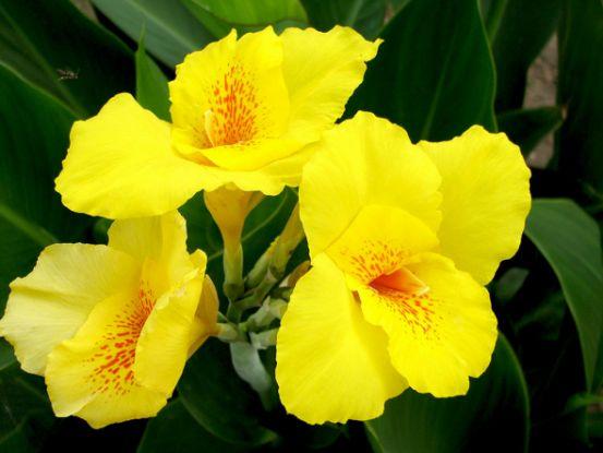Канна — украшение вашего цветника