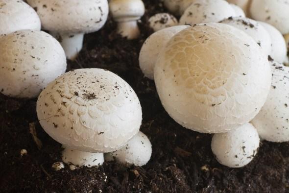 Как выращивать шампиньоны?