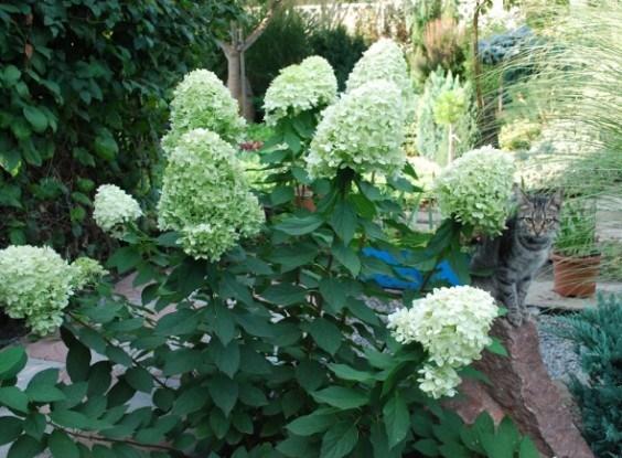 Гортензія без помилок: особливості агротехніки для квітникарів