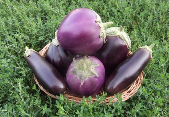 Пан баклажан:  агротехнічні прийоми та продуктивні сорти для гарного врожаю