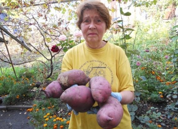 "Батат: тропічна ""картопля"""