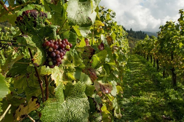 Основа основ: вивчаємо життєві цикли винограду