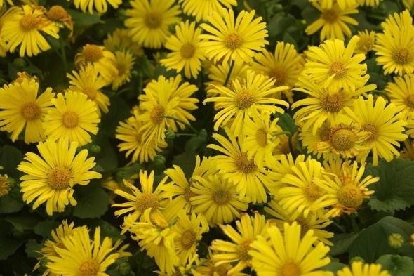 Доронікум, сонячний промінець: особливості культури і вирощування у садибі