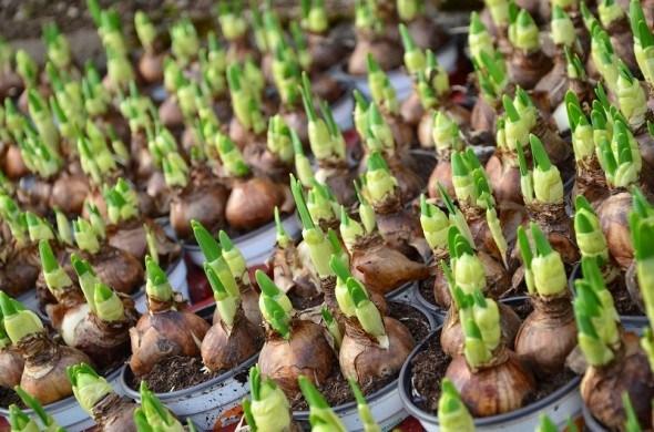 Квітник, вирощений з цибулинки: основи вегетативного розмноження цибулинних культур