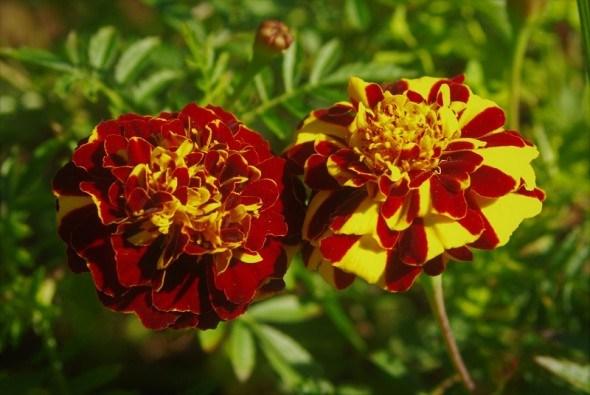Що в квітнику насіялось: збираємо та зберігаємо насіння квітучіх рослин