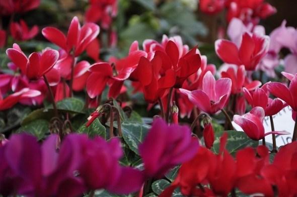 Щоб цвіли цикламени: вбережемо від кліщів та гнилизни