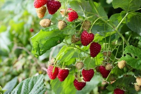 Выращиваем крупноплодные сорта