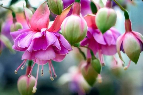 """Барвисті """"ліхтарики"""" у садибі: вирощування та сорти гібридної фуксії"""