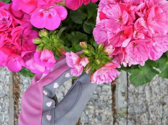Герань цветение рука цветовода