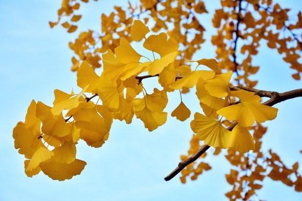 гінкго білоба, осіннє листя