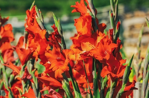 """Як зберігати квітучі """"скарби"""": викопуємо і закладаємо цибулини, бульби та кореневища у сховища до весни"""