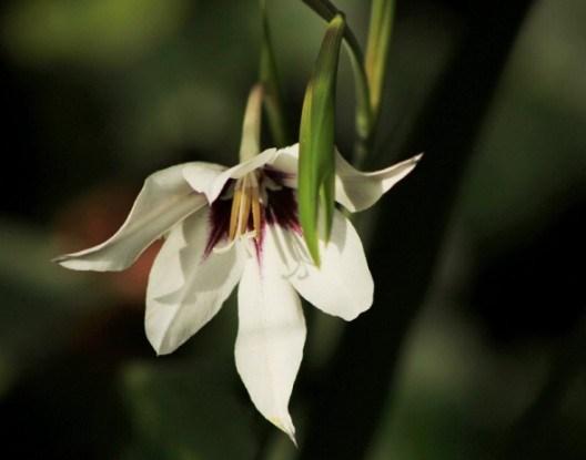 Квітка з ароматом зими: особливості вирощування ацидантери