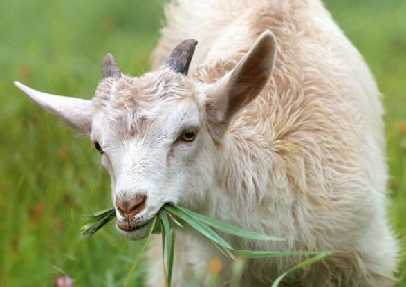Молочные, пуховые и шерстные породы коз