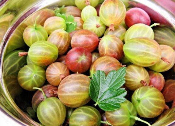 Повернення смарагдової ягоди: вирощування аґрусу на промисловій основі