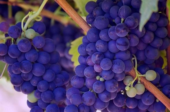 Захист виноградників від хвороб та шкідників!