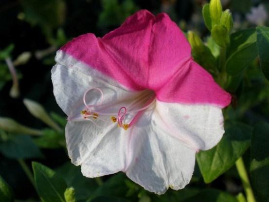 Мирабилис или ночная красавица. Как выращивать и размножать необычный цветок?