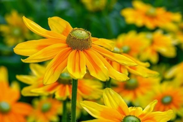 Сонячні квіти: вибираємо для квітника декоративні рослини з жовтими квітками