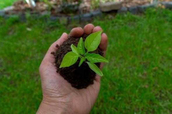 Допоможе сіно: вирощування розсади солодкого перцю для відкритого ґрунту