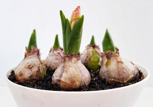 """Мир луковичных растений: """"большая четверка"""" и другие"""