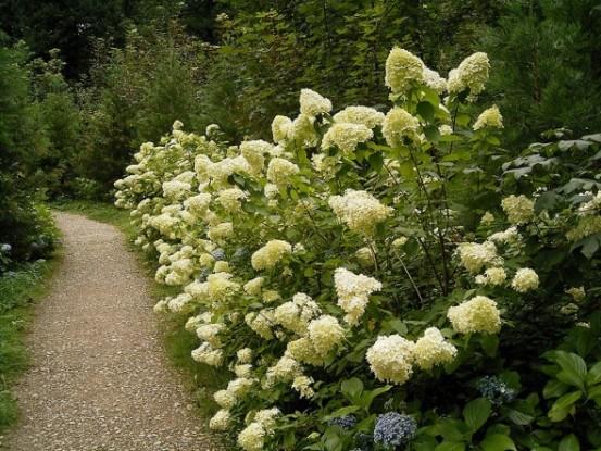 Гортензия метельчатая саду