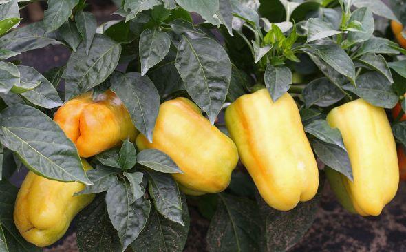 Урожай перца закладывается еще при выращивании рассады