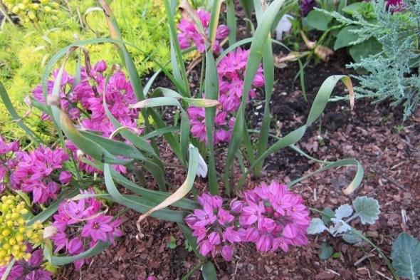 Модная горка – аллярий: декоративные луки в дизайне сада