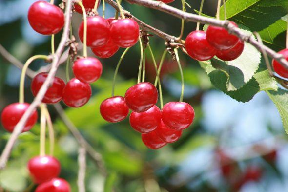 Ягоды вишни в саду
