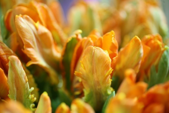 """Весну прикрасять """"папуги"""". Розпочинаємо підготовку квітників до наступного сезону"""
