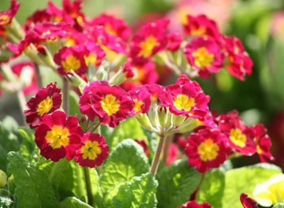 Цветник открывает сезон: яркие краски первоцветов