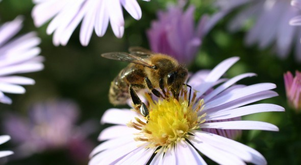 Угроза для пчел
