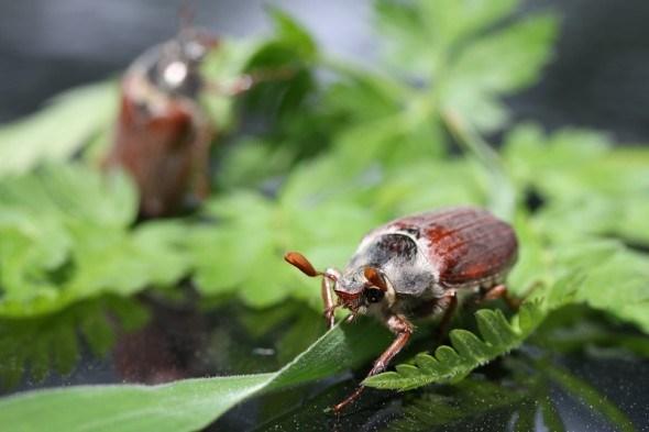 Не лише у травні: шкідливі види хрущів та заходи боротьби з ними