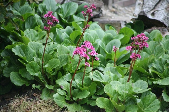 Потужне листя, ніжні квіти: ломикамень у садибі